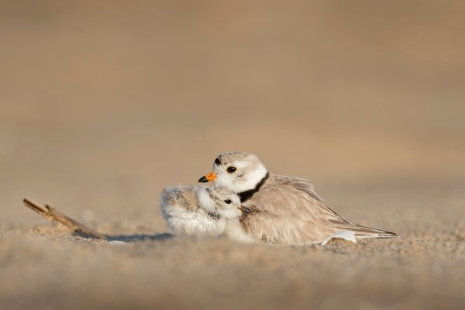 Piping Plover and its Chick