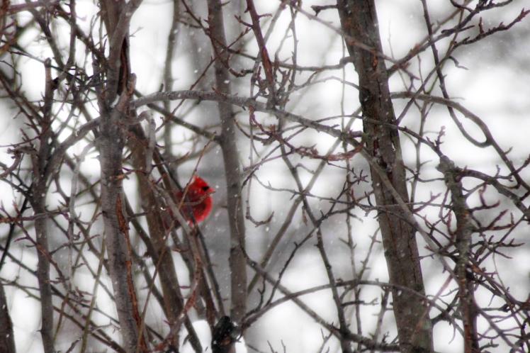 cardinal-waiting